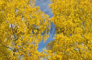 herbstlich bunte birken, gaellivare, lappland, schweden, autumnal beeches, swedish lapland