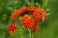 Blüte der Emilie