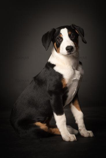 appenzeller dog in full view