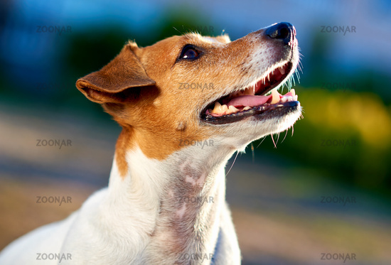 Jack Russell Terrier outdoors