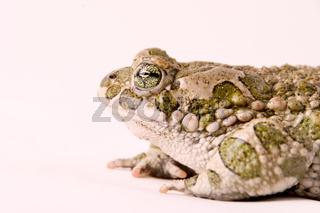 Wechselkröte (Bufo viridis) -  toad (Bufo viridis)