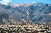 Cactuses with long thorns on the fence and mountains on the background with shallow depth of field in Colca canyon, Peru