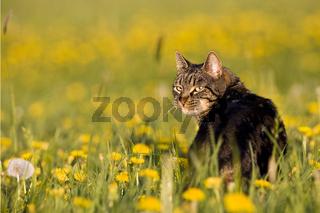 Europaeisch Kurzhaar Hauskatze, European Shorthair house cat