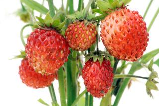Real wood wild strawberry berries