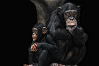 chimp brothers and sisters