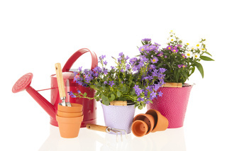 Campanula and daisies in flower pot