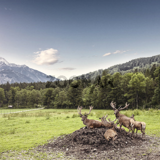 Herd of red deer with branched antlers grazes in grass