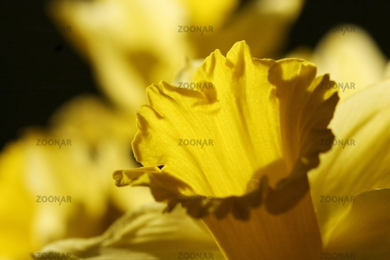 Center trumpet of daffodil