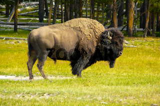 American bison in nature