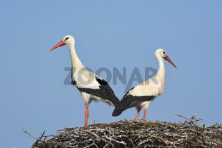 White Storck