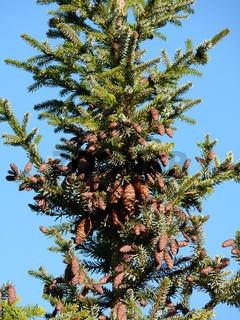 Picea omorika, Serbische Fichte, serbian spruce