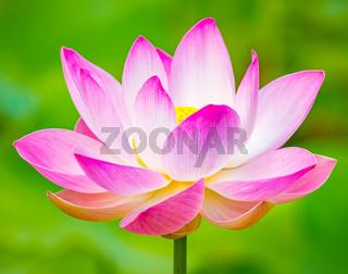 Closeup lotus flower