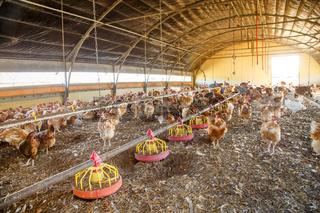 Organic chicken breeding in their shelters