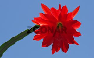 Blüte eines Osterkaktus - Hatiora