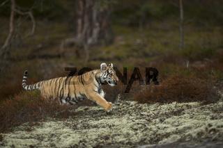 zielstrebig... Königstiger *Panthera tigris tigris*