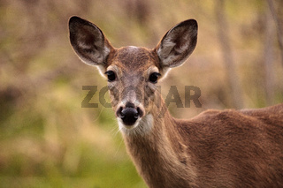 White-tailed deer Odocoileus virginianus forages for food