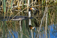 Great crested grebe (Podiceps cristatus) bringing nesting material to the nest