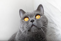 Muzzle of gray British cat