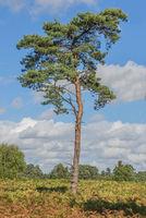 Scots Pine Tree
