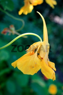Kapuzinerkresse, Blüte, gelb