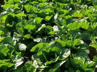 Brassica rapa pekinensis, Chinakohl, cabbage