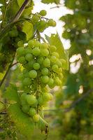 Helle Weintrauben hängen an einem Weinstock