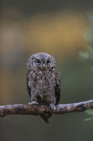 small owl... Eurasian Scops Owl *Otus scops* perched on a branch of a pine tree