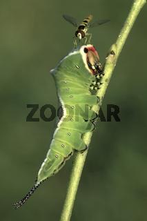 Grosser Gabelschwanz, Raupe, Cerura vinula,  Puss Moth, caterpillar