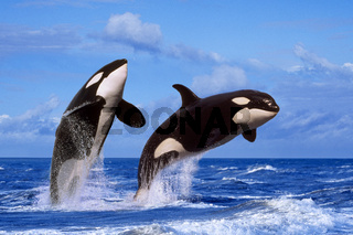 Springende Orcas / Schwertwale (M)