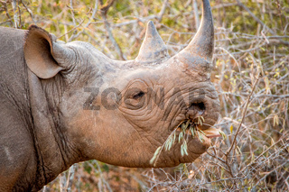 Eating Black rhino in the Kruger National Park, South Africa.