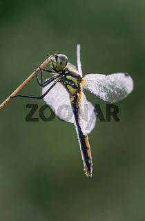 Schwarze Heidelibelle, die Eiablage erfolgt im Flug / Sympetrum danae