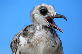 Baby Swallow-tailed Gull on Genovesa island in Galapagos National Park, Ecuador