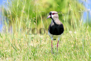 Southern Lapwing (Vanellus chilensis)