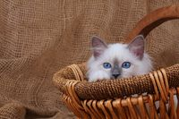 SACRET CAT OF BIRMA, BIRMAN CAT, KITTEN, SITTING IN BASKET,