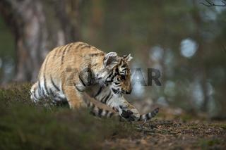 angespannt... Königstiger *Panthera tigris tigris*