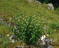 swallowwort; white swallowwort;