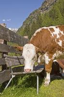 Kuh besetzt Rastbank