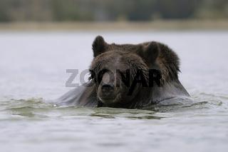 beim Bad... Europäischer Braunbär *Ursus arctos*