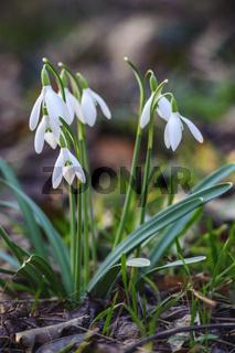 Schneeglöckchen Galanthus Frühlingsboten im Wald
