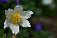 alpine anemone; flower; blossom;