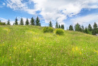 Meadow with wildflowers and fir trees