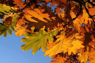 Eichenlaub Herbst