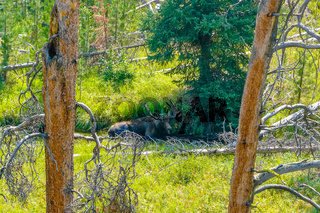 American moose in nature Yellowstone park