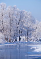 Altai river Talitsa with with couple of swans and reflection of willow trees covered by hoarfrost in water in winter
