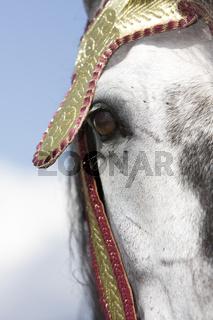 Closeup Berberpferd