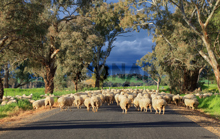 Sheep herding in country NSW