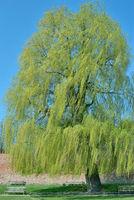 Trauerweide Salix Alba tristis.jpg