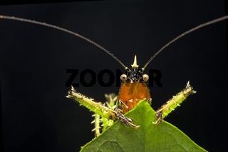 Laubheuschrecke Spiny devil, Amazonas Regenwald, Ecuador