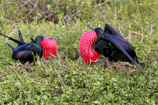 Male Great Frigatebirds on Genovesa Island, Galapagos National Park, Ecuador