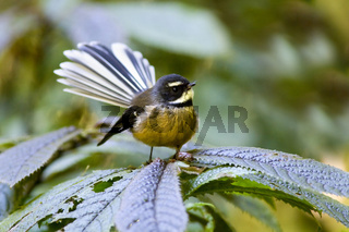 Graufaecherschwanz, Rhipidura fuliginosa, erwachsener Vogel sitzt auf einer Pflanze im Unterbewuchs eines gemaessigten Regenwaldes.Waitomo, Nordinsel, Neuseeland, Fantail, Rhipidura fuliginosa, adult sits on a plant in the undergrowth of a temperate rainf